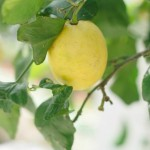 italian-lemon-tree