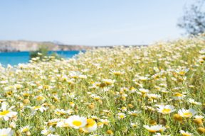 wild flowers growing in the sunshine of the aegean islands