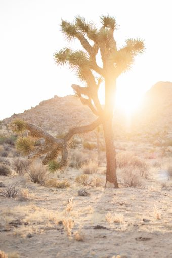 joshua tree in the golden sunshine