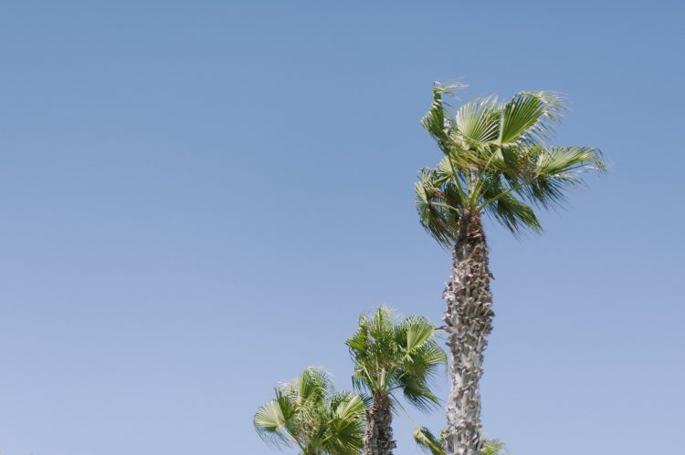 palm trees tops and blue skies