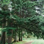 boughs of pine trees