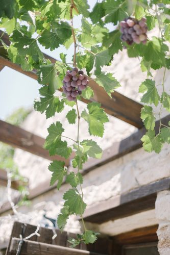grape vines hanging from the canopy