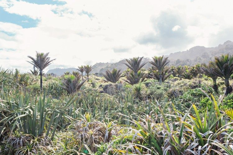 tall layers of palm trees in New Zealand
