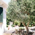 huge old olive tree in the grounds of the villa